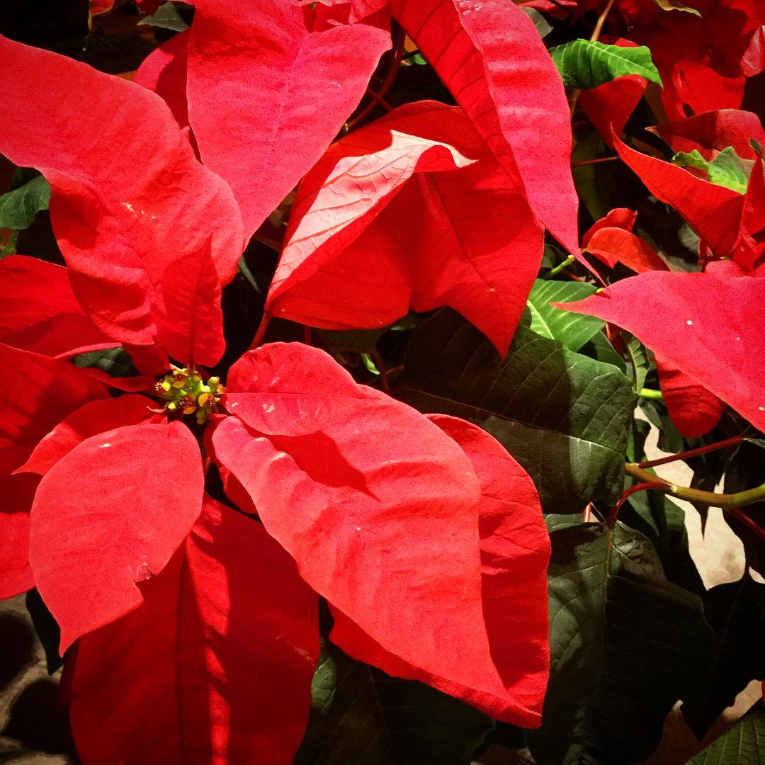 Poinsettias in the library bring a warm holiday feeling. #ohrstromlibrary #poinsettia #library #librariesofinstagram #holidays #red #iamsps